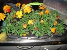 Blumenexperiment_6