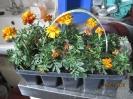 Blumenexperiment_8